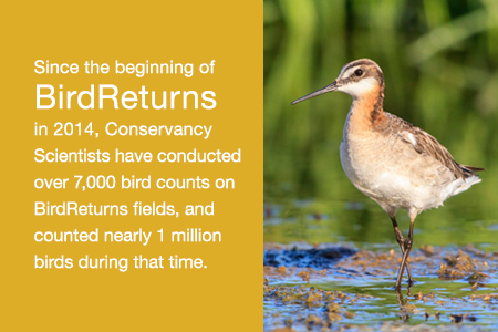 Since the beginning of BirdReturns in 2014, Conservancy scientists have conducted over 7,000 bird counts on BirdReturns fields, and counted nearly 1 million birds during that time.