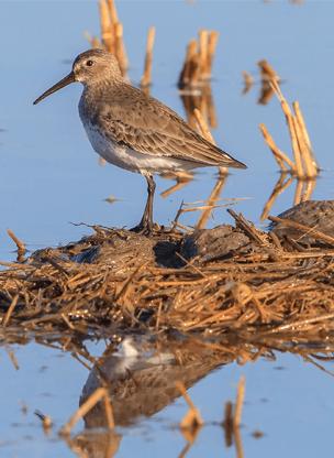 waterbird standing in rice field