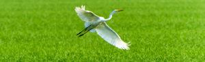 White egret taking flight