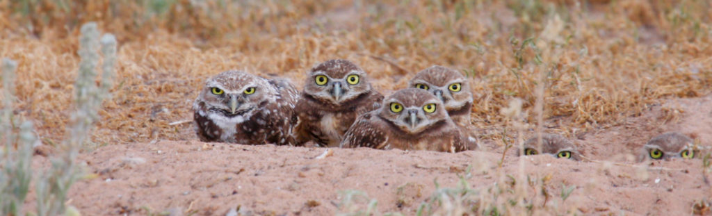 family of burrowing owls