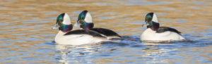 buffle head ducks