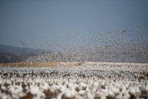 numerous birds in flooded rice fields