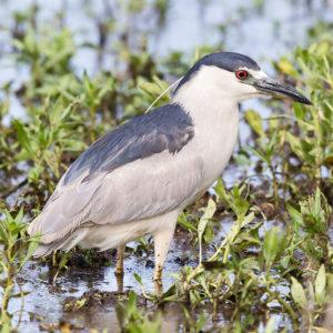 Black-crowned Night-Heron 3, credit: Leslie Morris