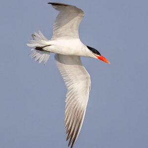 Caspian Tern, Leslie Morris