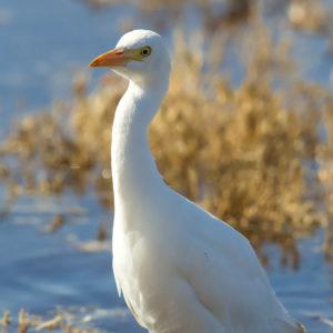 Cattle Egret, Jim Morris