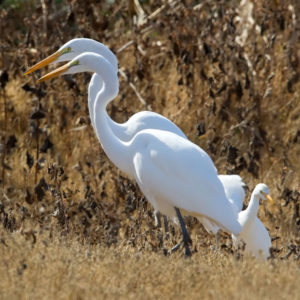Egrets, Leslie Morris