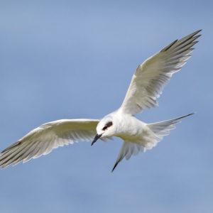 Forster's Tern, Leslie Morris