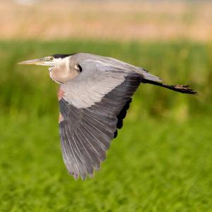 Great Blue Heron, Leslie Morris