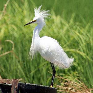 Snowy Egret, Jim Morris