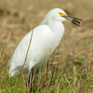 Snowy Egret, Leslie Morris
