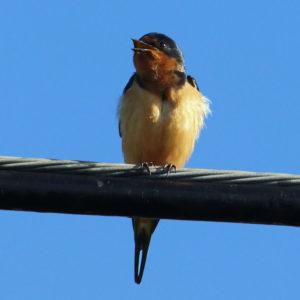 Barn Swallow, Jim Morris