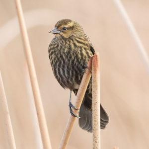 Red-winged Blackbird 4
