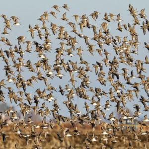 Dunlin flock 1