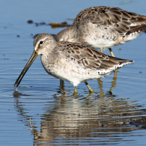 Long-billed Dowitcher 2