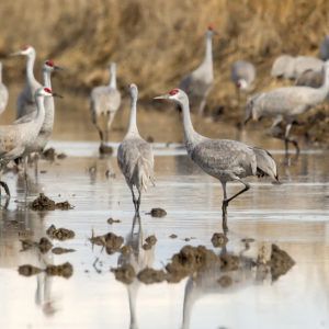 Greater and Lesser Sandhill Cranes