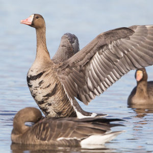 Greater White-fronted Geese 1