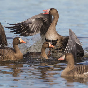 Greater White-fronted Geese 2