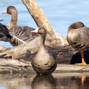 Greater White-fronted Geese 3