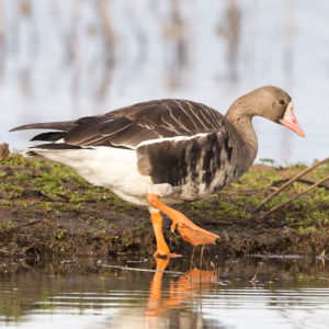 Greater White-fronted Geese 4