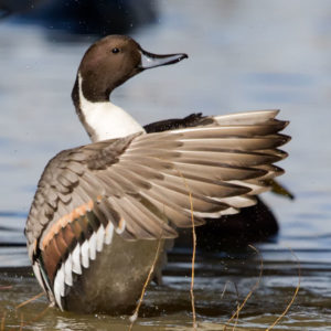 Northern Pintail 1