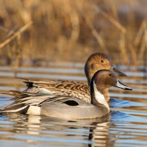 Northern Pintail 4