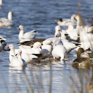Ross's Geese and Snow Geese 1