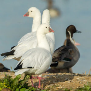 Ross's Geese and Snow Geese 2