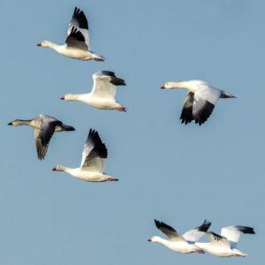 Snow Geese 5