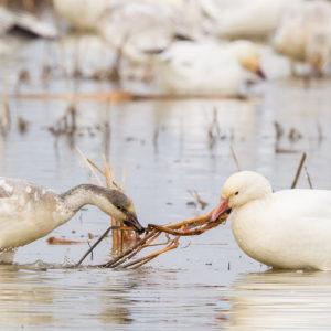 Snow Geese 7