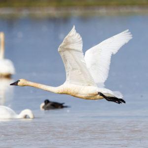 Tundra Swans 3