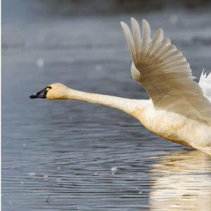 Tundra Swans 5
