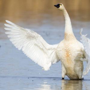 Tundra Swans 6