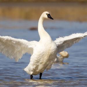 Tundra Swans 7