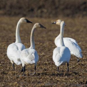 Tundra Swans 8
