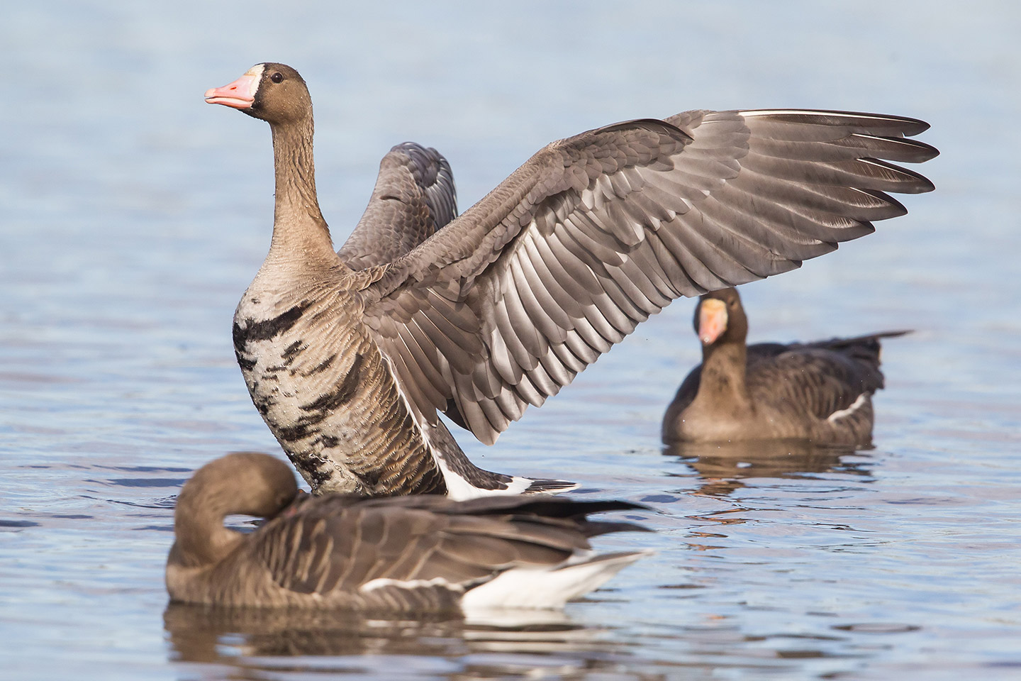 Greater-White-fronted-Geese-Leslie-Morris-1_W