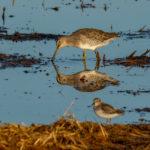 Bird Count in Wheatland CA, Monday Aug 31, 2020.Photo Brian Baer