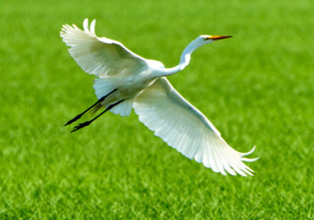 White egret taking flight